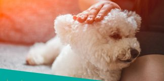 Featured image of white canine bichon frise with owner
