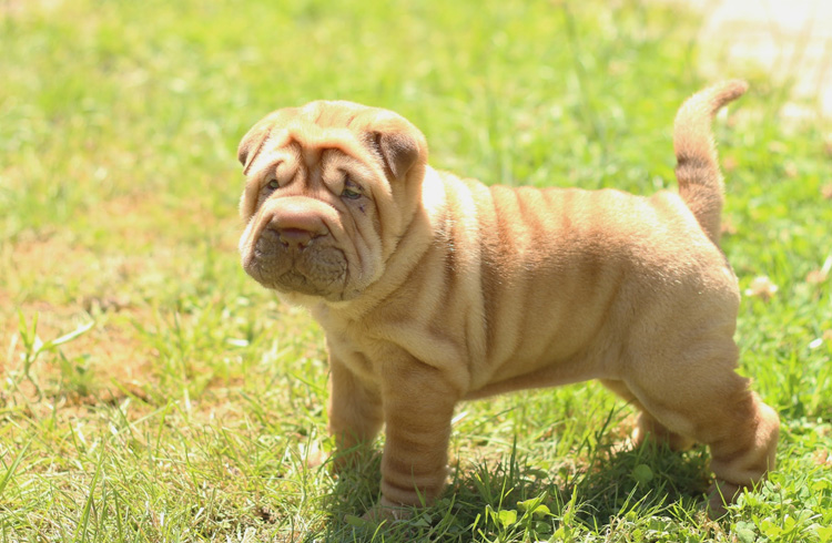 Image of Cute small puppy shar pei