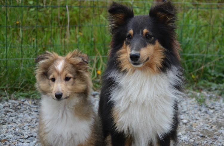 Image of Shetland Sheepdog puppy and adult dog
