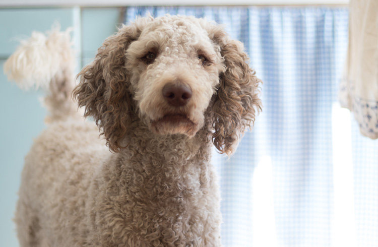 Image of adorable poodle in the kitchen