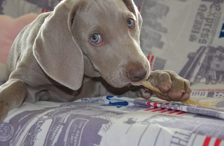 Image of beautiful grey dog and food