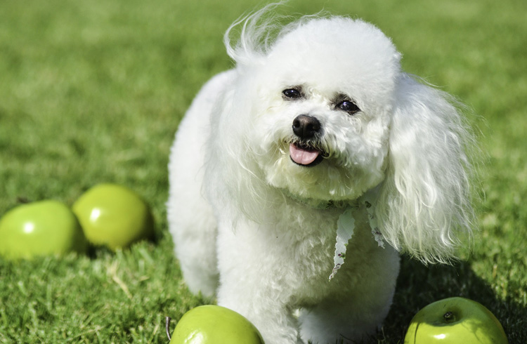Image of bichon frise and green apples
