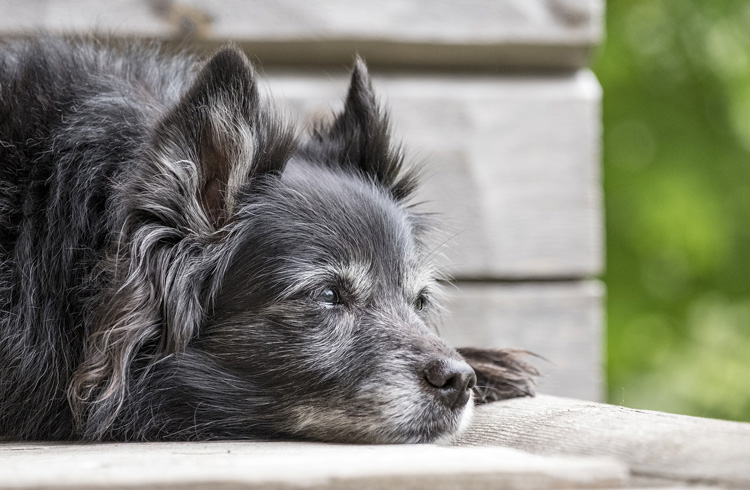 Image of black and grey old dog lying on bench