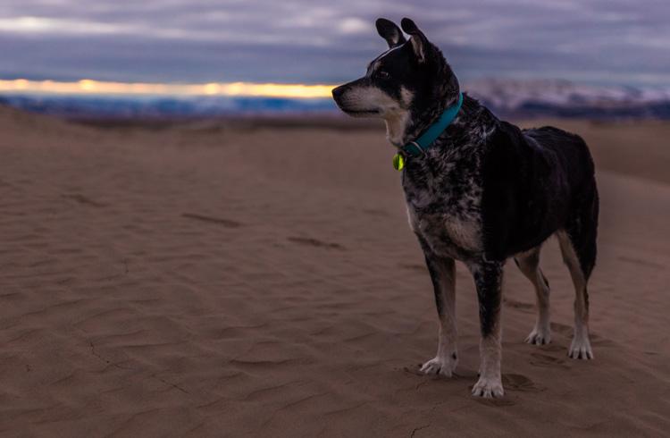 Image of blue heeler on sandy beach watching sunset