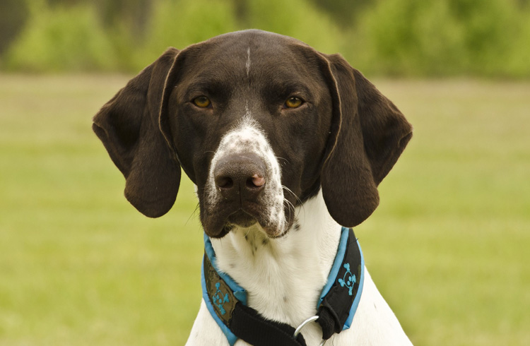Image of brown and white German Shorthaired Pointer