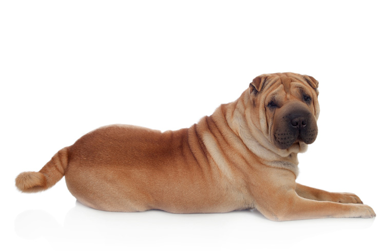 Image of canine shar pei and white background