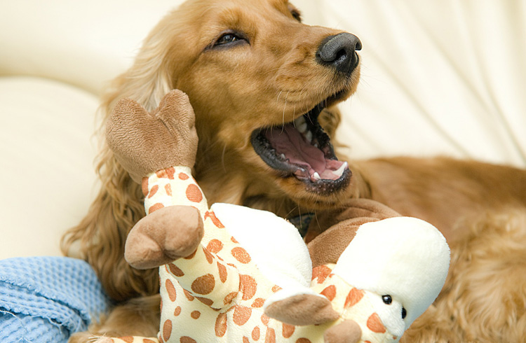 Image of cocker spaniel playing with toy giraffe