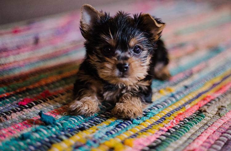 Image of cute small breed puppy