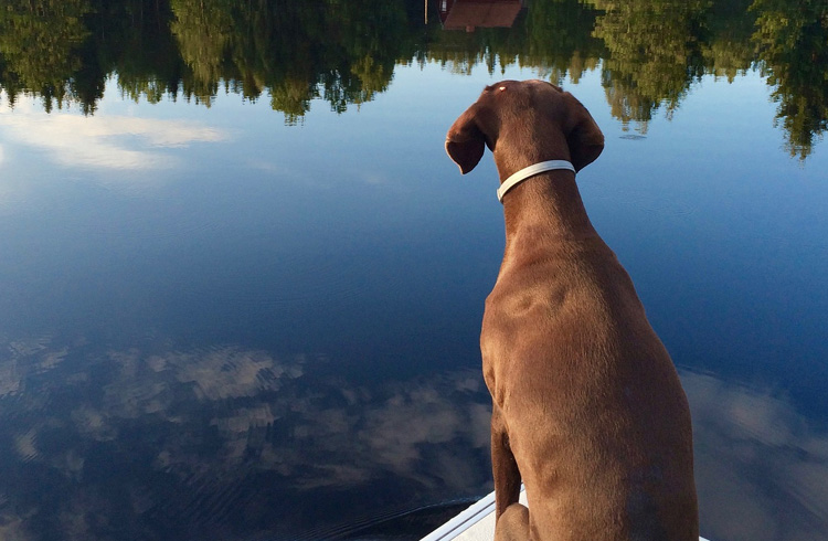 Image of german shorthaired pointer looking into the water
