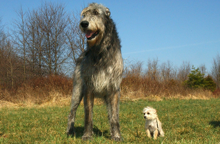 Image of giant and toy dog