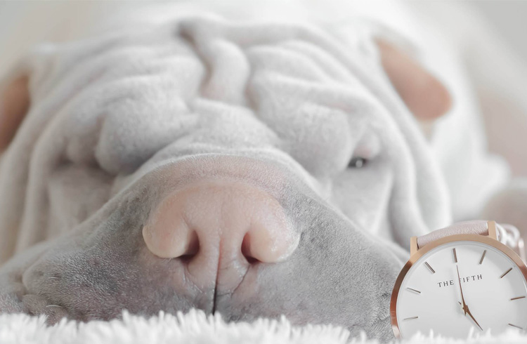 Image of grey dog shar pei and watch