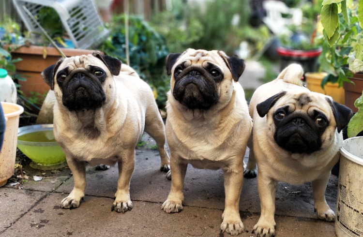 Image of hungry Pugs