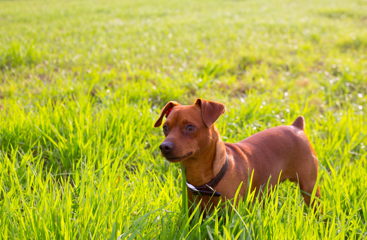 Image of miniature pinscher playing in tall grass