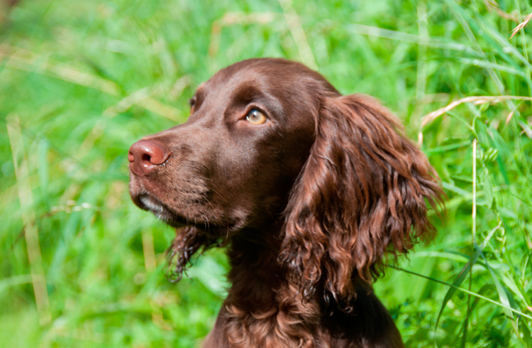 Image of nice brown cocker spaniel in nature