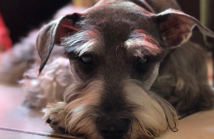 Image of sad Schnauzer dog