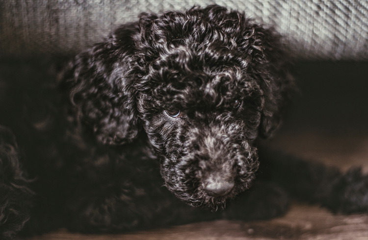 The 7 Best Dog Food for Standard Poodles - 2019 Reviews and