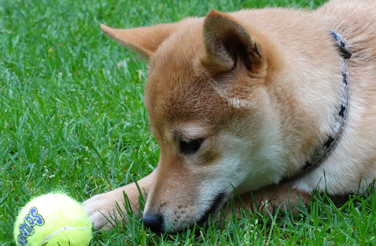 Image of shiba inu playing with yellow ball