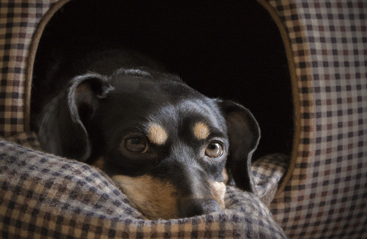 Image of small black dog laying down