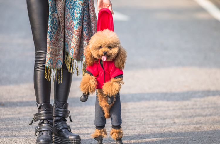 Image of toy poodle in red sweatshirt