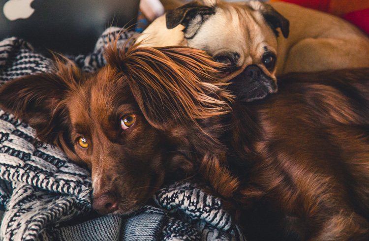 Image of two dogs lying on a blanket