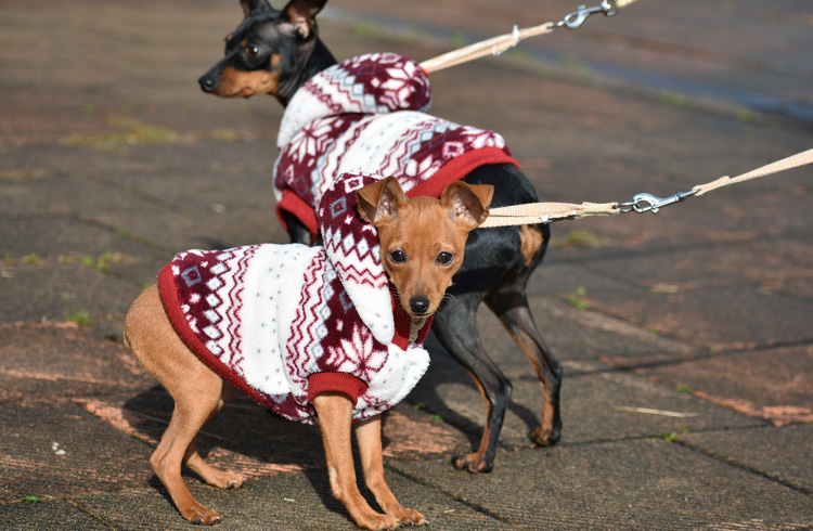 image of two min pins wearing sweater