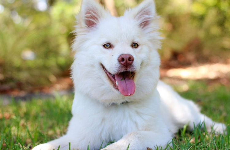 Image of white fluffy dog in grass