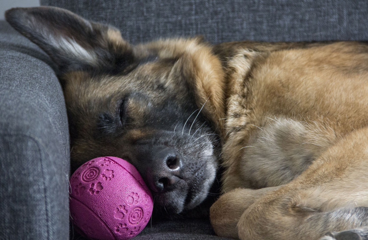 image of dog sleeping with pink ball