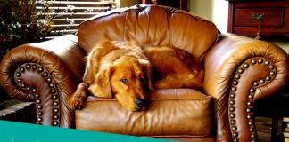 Featured image of large dog on the chair