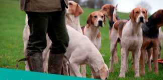 Featured image of several hunting dogs with hunter
