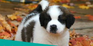 Featured image of sweet st bernard puppy