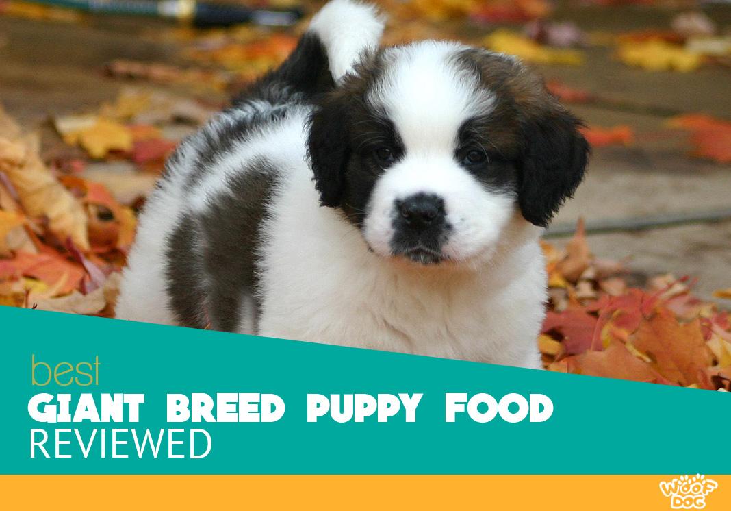 Featured image of sweet st bernard puppy