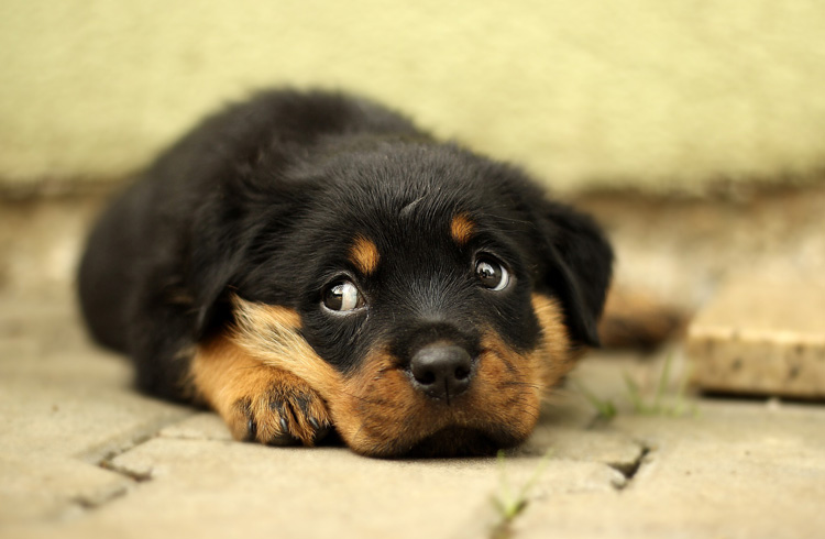 Image of Rottweiler puppy with sad eyes