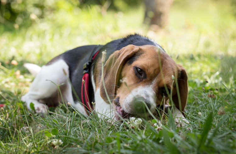 Image of beagle lying on green grass field