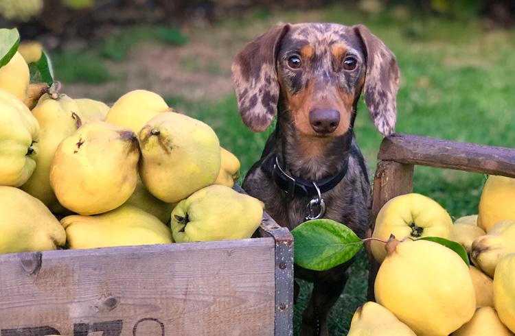 Image of dog near fruit