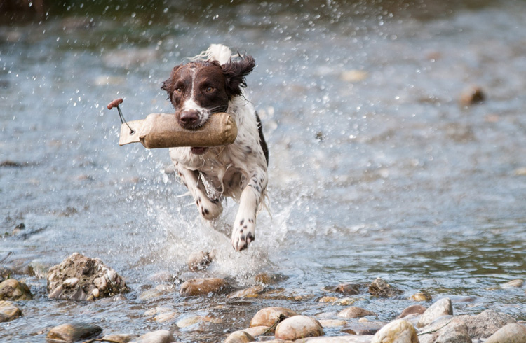 Image of fast brown and white dog