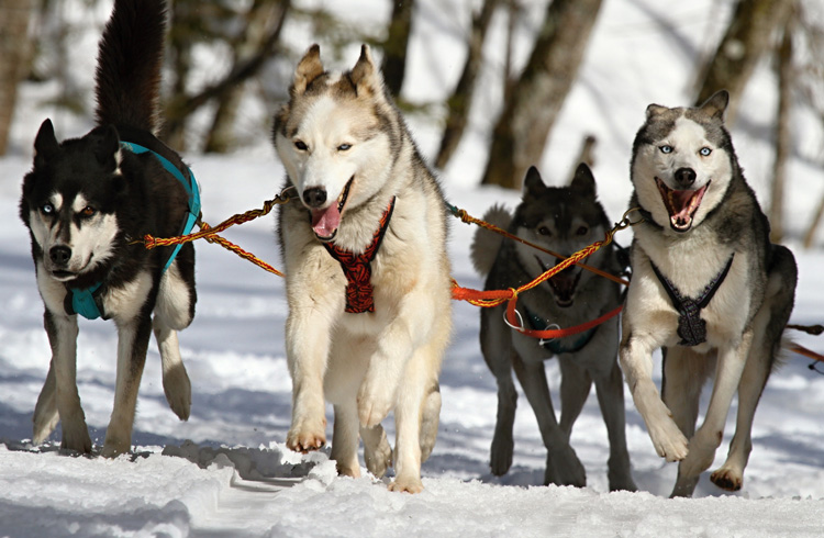 Image of four Siberian Husky dogs