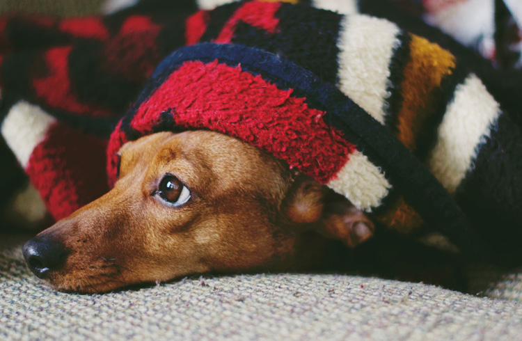 Image of sad dog covered with blanket