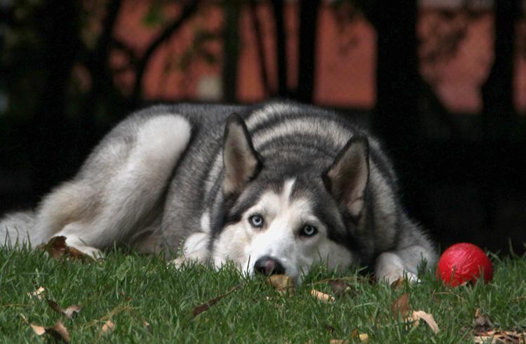 Image of sad husky canine with red ball