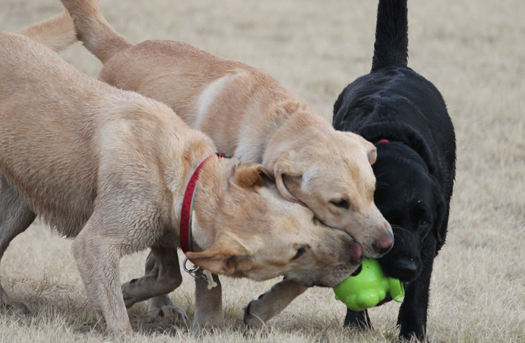 Image of three hunting dogs and one toy