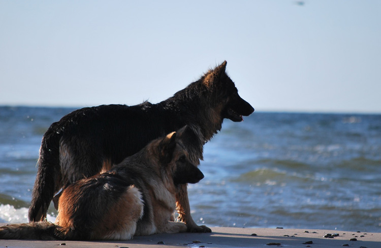 Image of two dogs at the beach