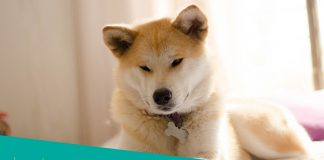Featured image of Akita dog on bed