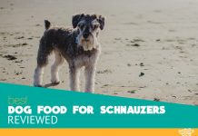 Featured image of beautiful schnauzer dog on the beach