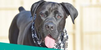 Featured image of black cane corso with bandana