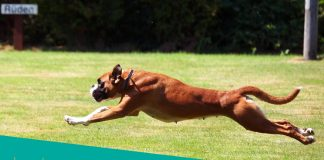 Featured image of boxer dog running