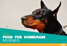 Featured image of doberman canine focus