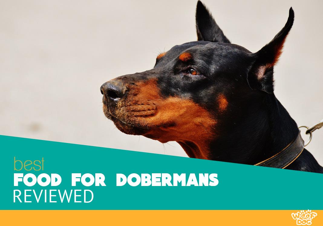 Featured image of doberman canine focus
