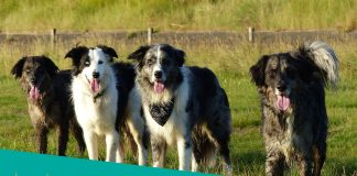 Featured image of four border collies dogs