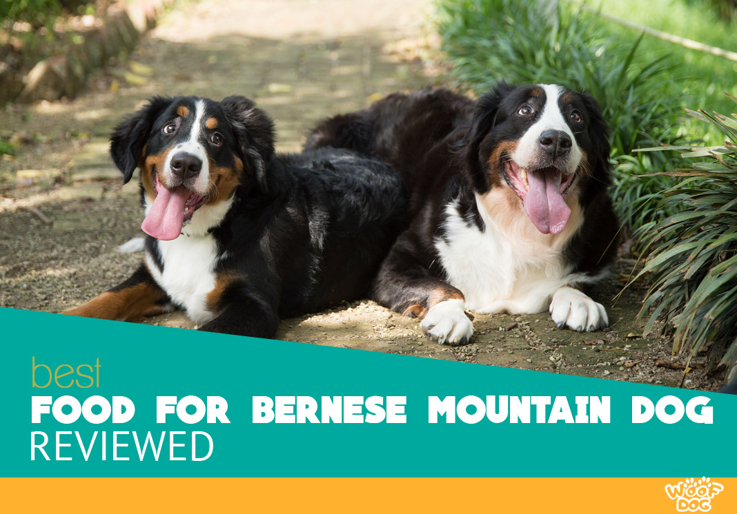 Featured image of silly bernese mountain dogs