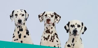 Featured image of three dalmatians