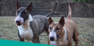 Featured image of two bull terriers